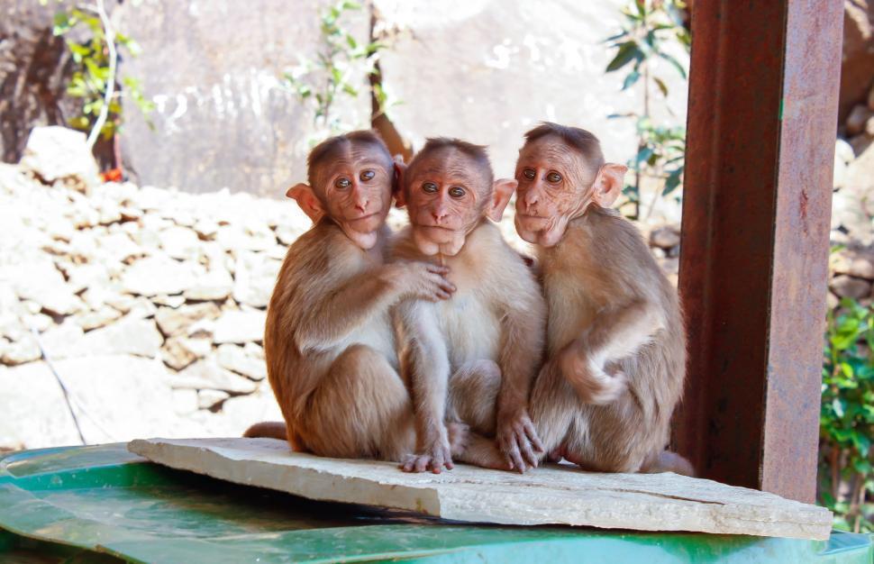 Download Free Stock Photo of Three Monkeys