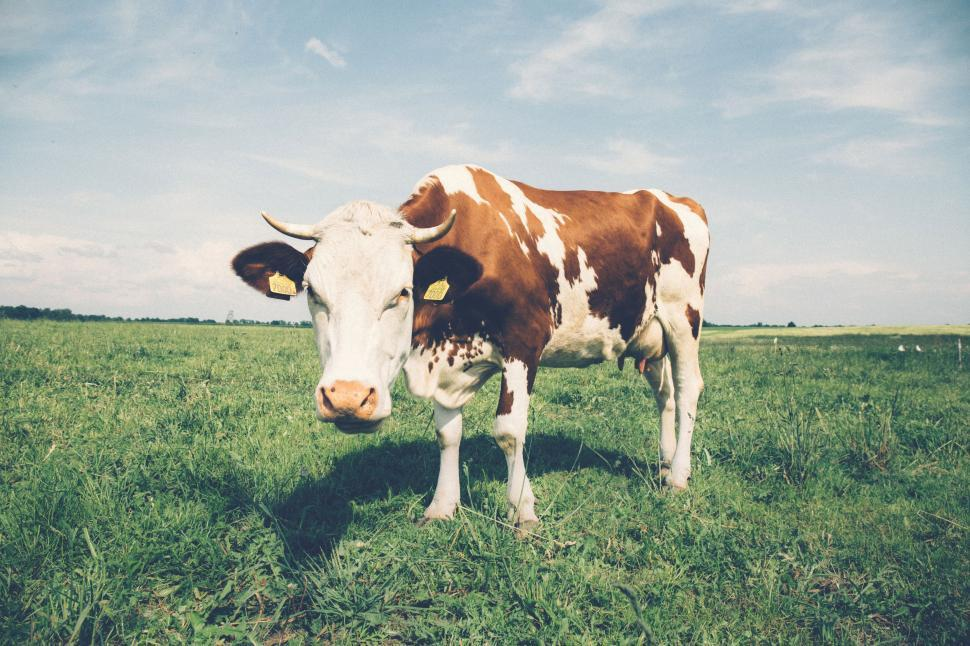 Download Free Stock Photo of White brown cow with ear tags