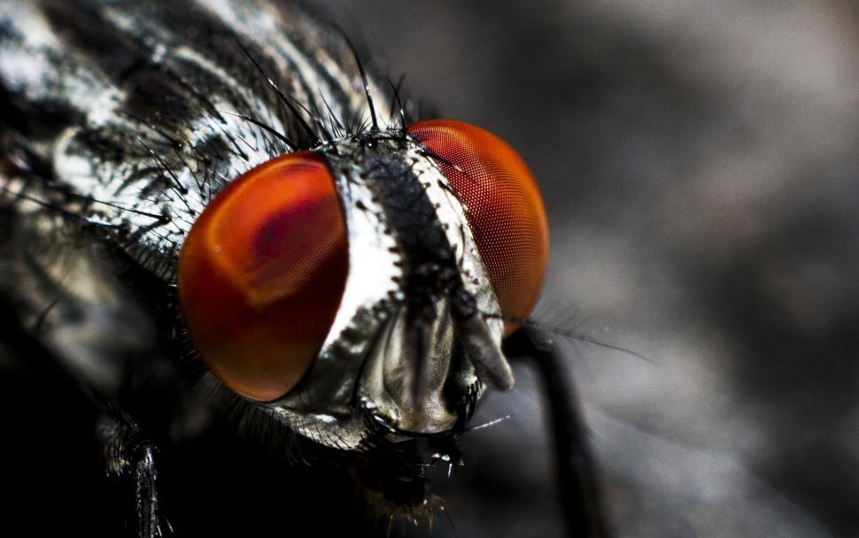 Download Free Stock Photo of Flesh fly