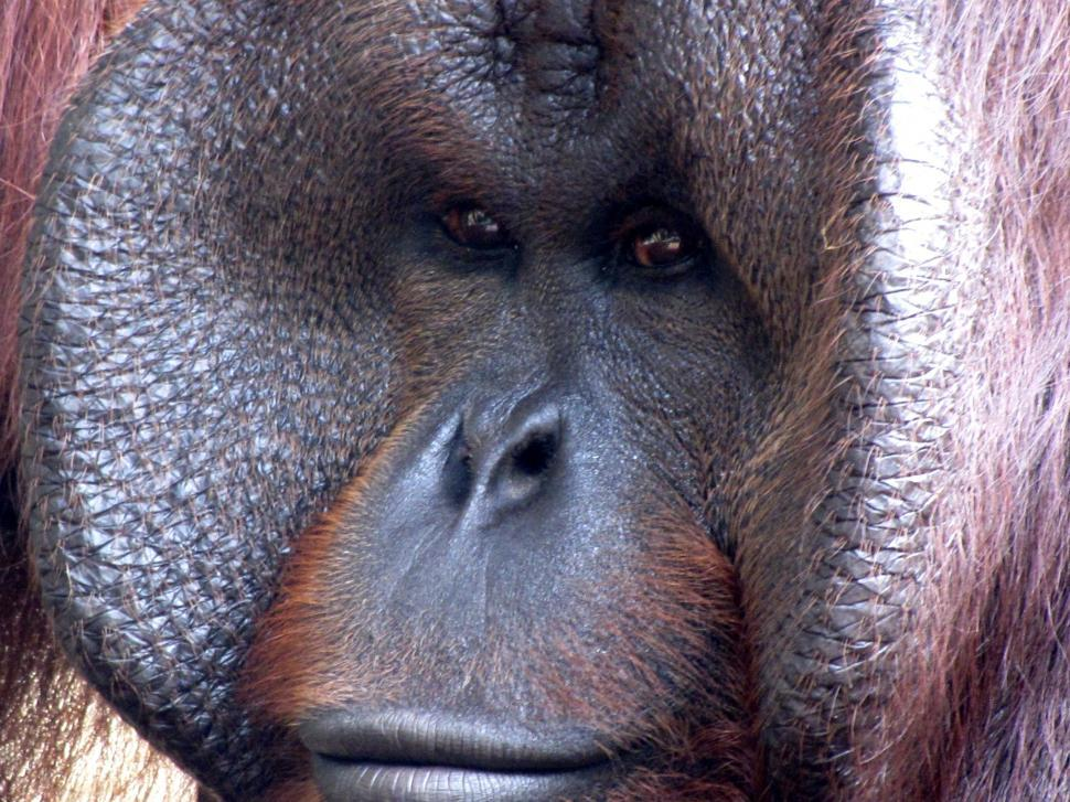 Download Free Stock Photo of Gorilla Face