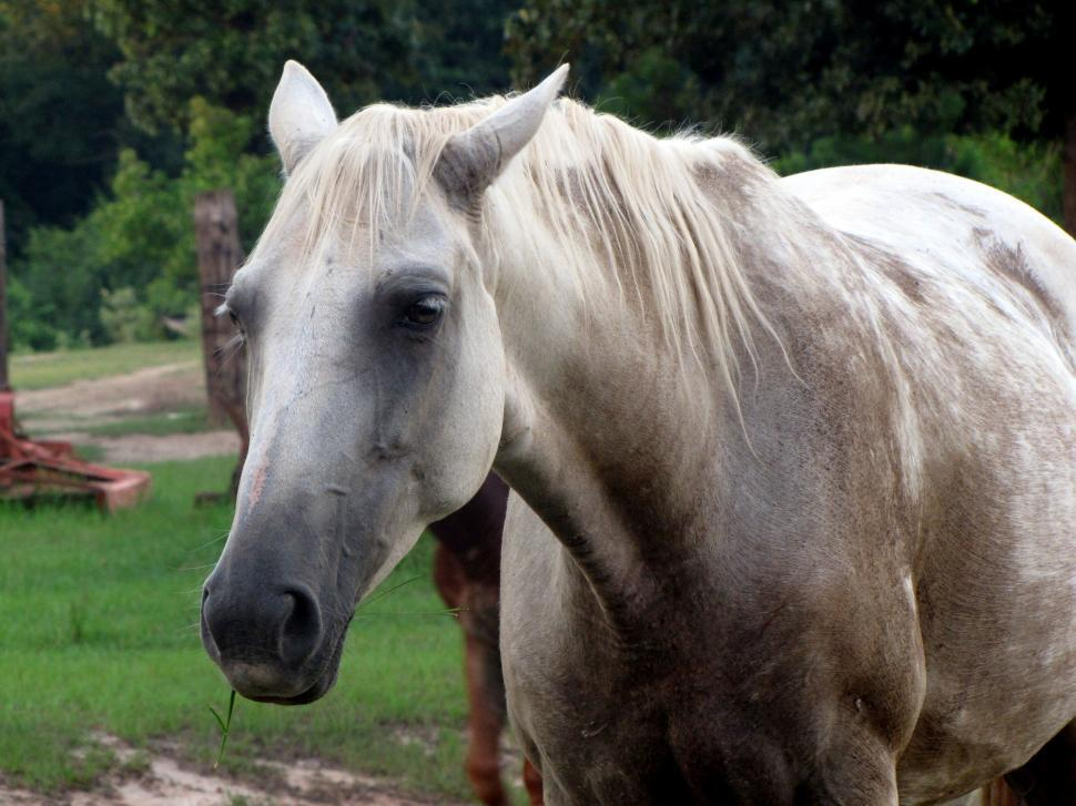Download Free Stock Photo of White Horse