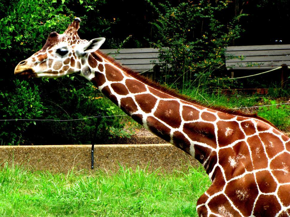 Download Free Stock Photo of Giraffe in the farm