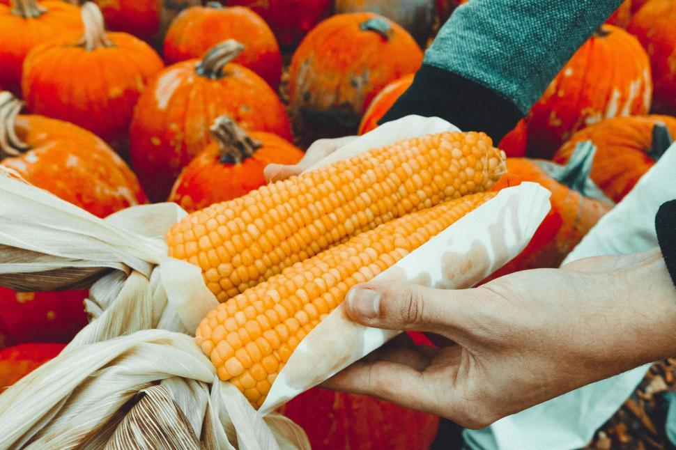 Download Free Stock Photo of Corn cobs and pumpkins
