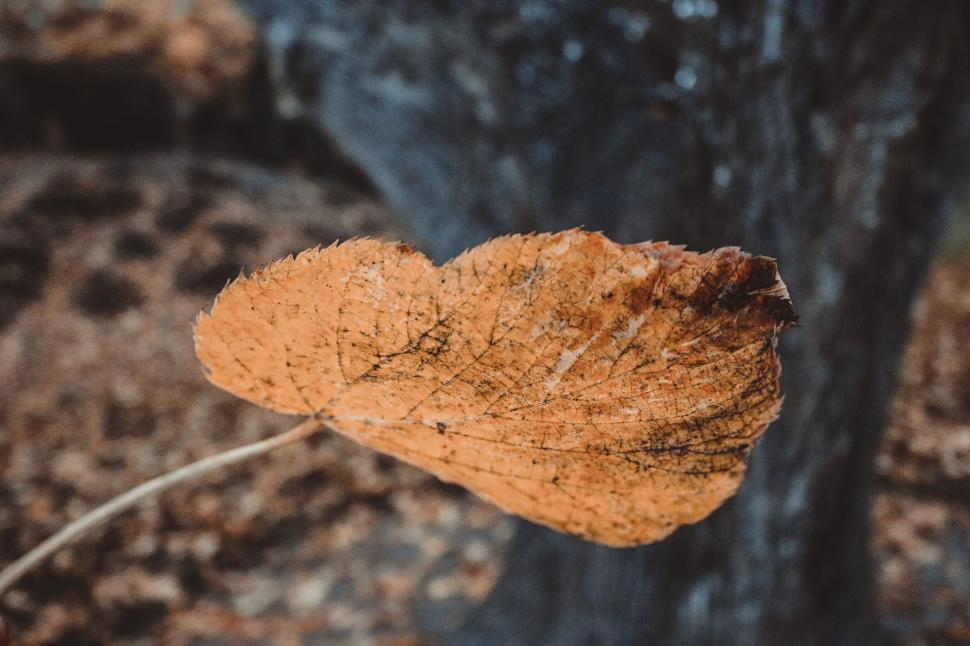 Download Free Stock Photo of Autumn Leaf
