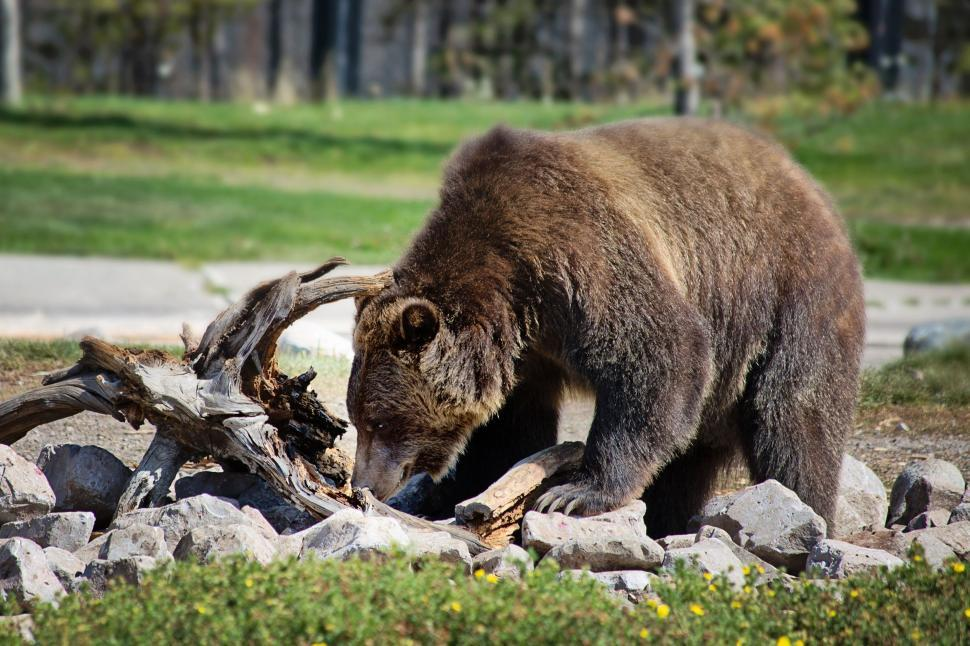 Download Free Stock Photo of Grizzly bear