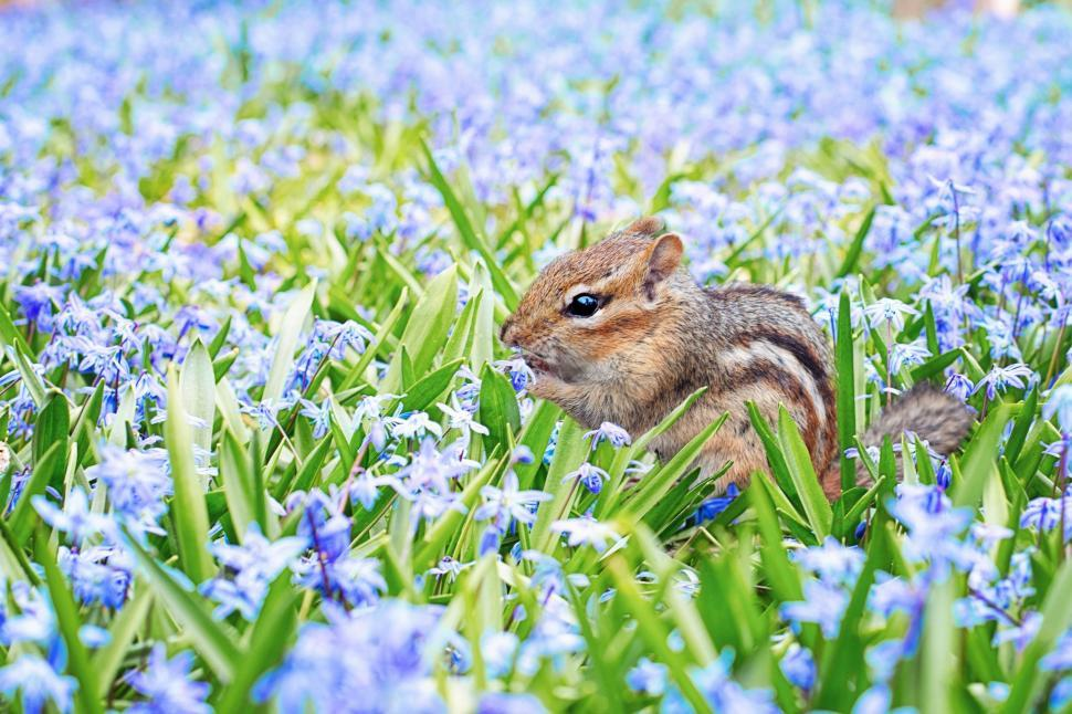 Download Free Stock Photo of Chipmunk and flowers