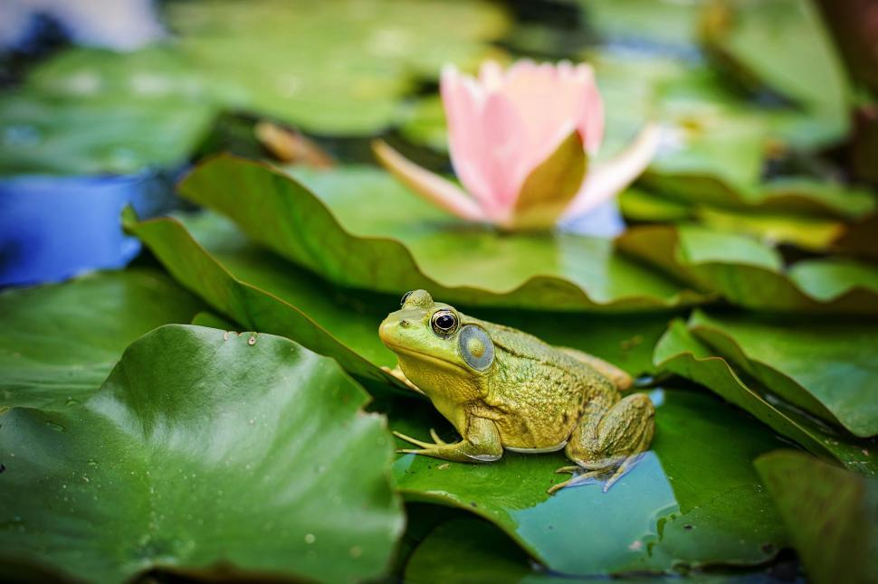 Download Free Stock Photo of Bullfrog and pink lily flower