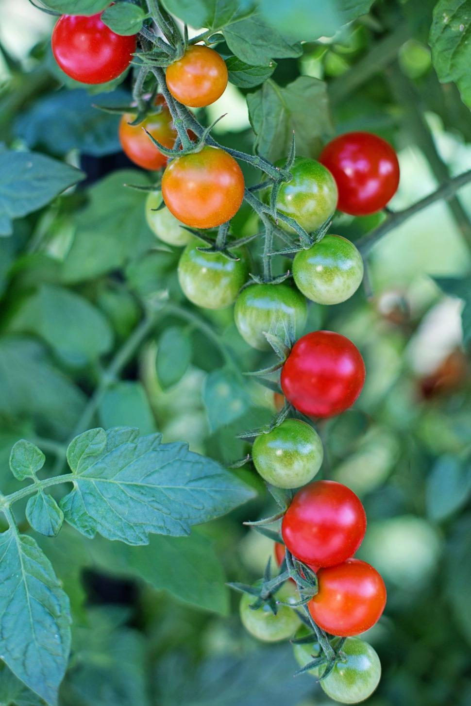 Download Free Stock Photo of Cherry Tomatoes with green leaves