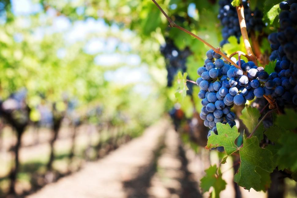Download Free Stock Photo of Wine Grapes and Trees