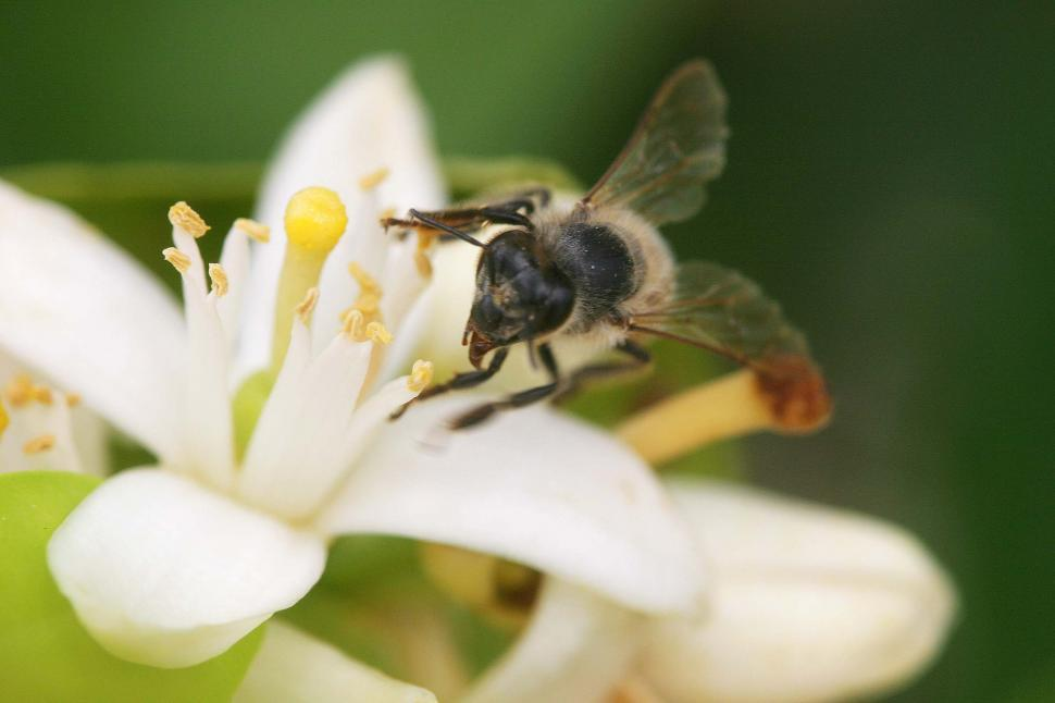 Download Free Stock HD Photo of Bee on a white flower Online