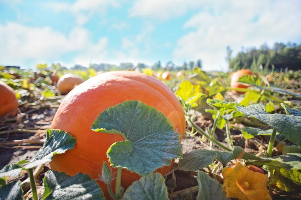 Download Free Stock Photo of Pumpkin patch