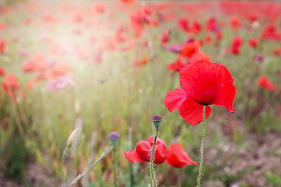 Download Free Stock Photo of Red Poppy Flowers