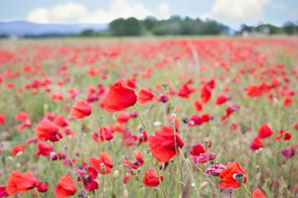 Download Free Stock Photo of Poppy Flower Field