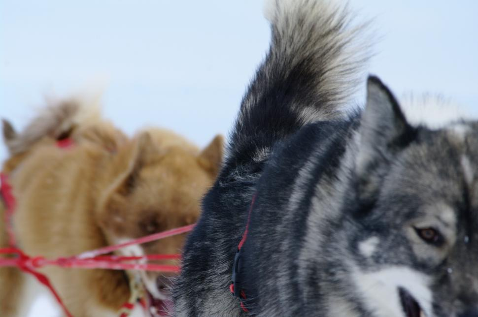 Download Free Stock Photo of moutain ride with huskies