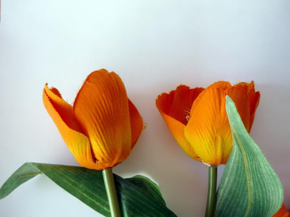 Download Free Stock Photo of Orange Tulips