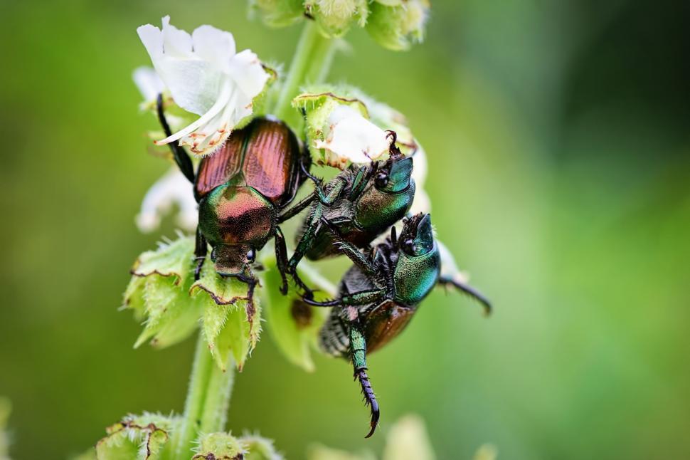 Download Free Stock Photo of June beetles