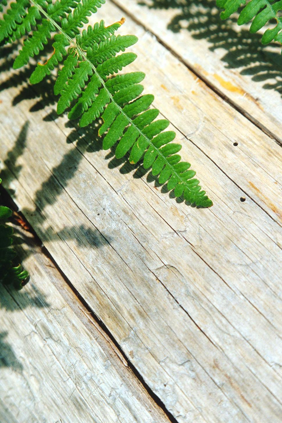 Download Free Stock HD Photo of Fern leaves on bleached wood Online