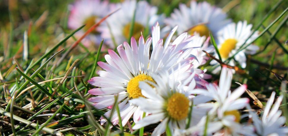 Download Free Stock Photo of White Daisy Flowers