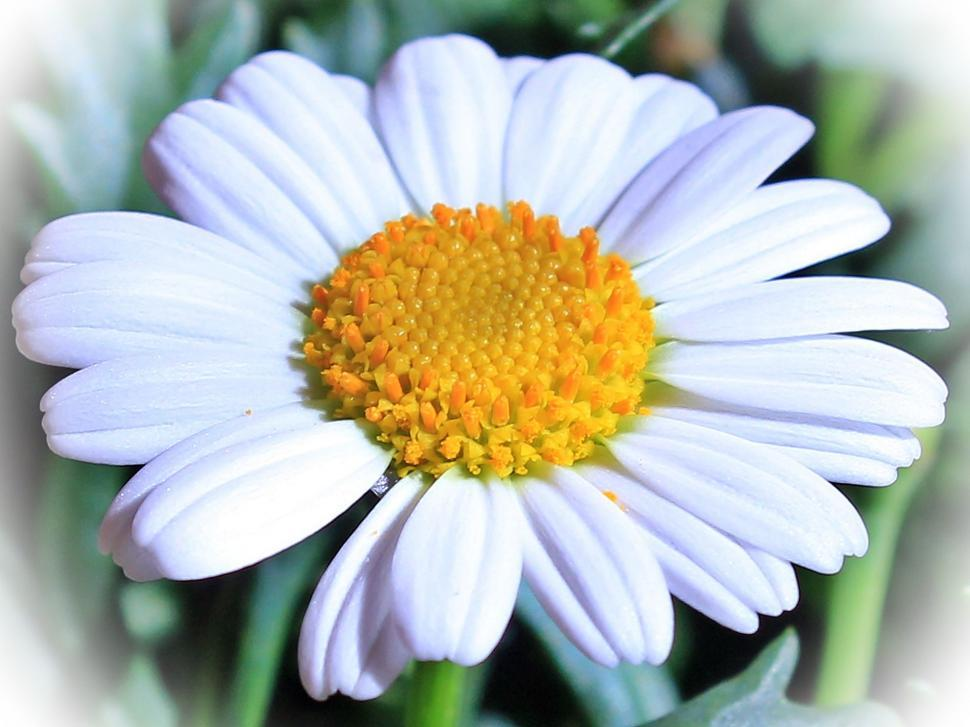 Download Free Stock Photo of White Daisy Flower