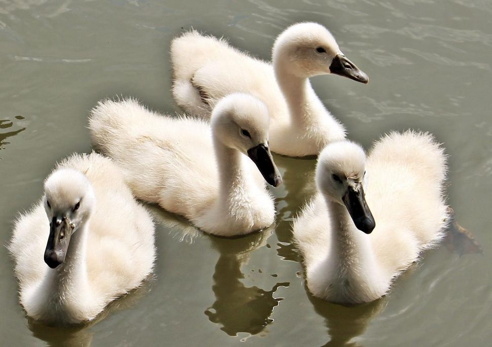 Download Free Stock Photo of Cygnets in lake