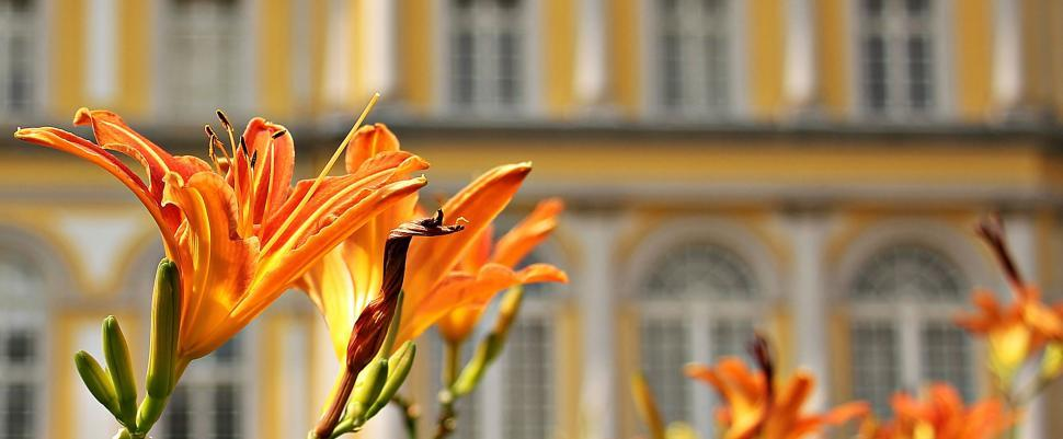 Download Free Stock Photo of Orange Lily Flowers