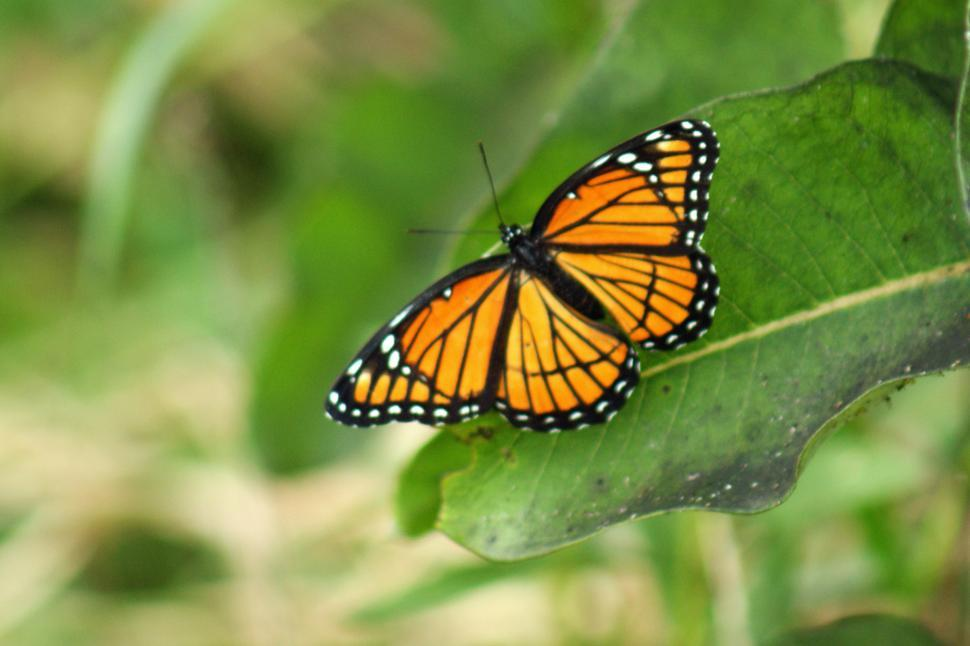 Download Free Stock Photo of Butterfly2