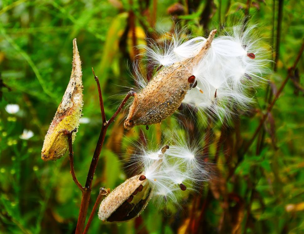 Download Free Stock Photo of Milkweed Seed Pods Opening to Release Seeds