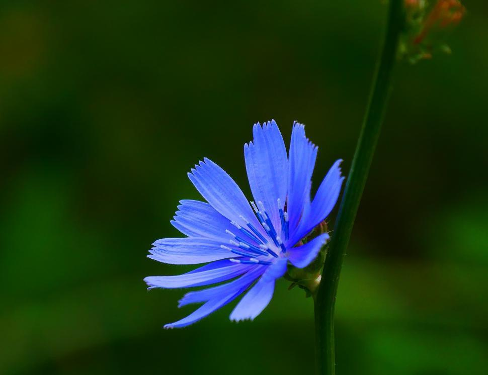 Download Free Stock HD Photo of Chicory Flower Online
