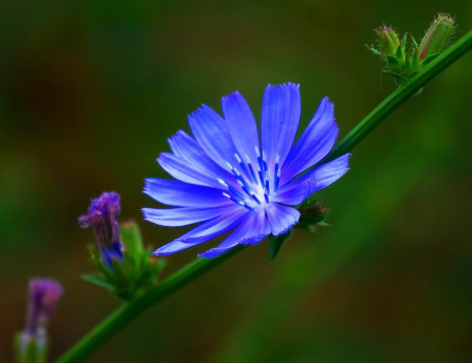 Download Free Stock HD Photo of Purple Chicory Flower Closeup Online