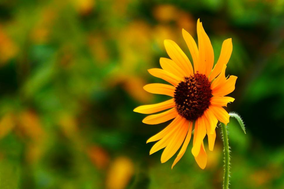 Download Free Stock Photo of Sunflower Yellow Flower