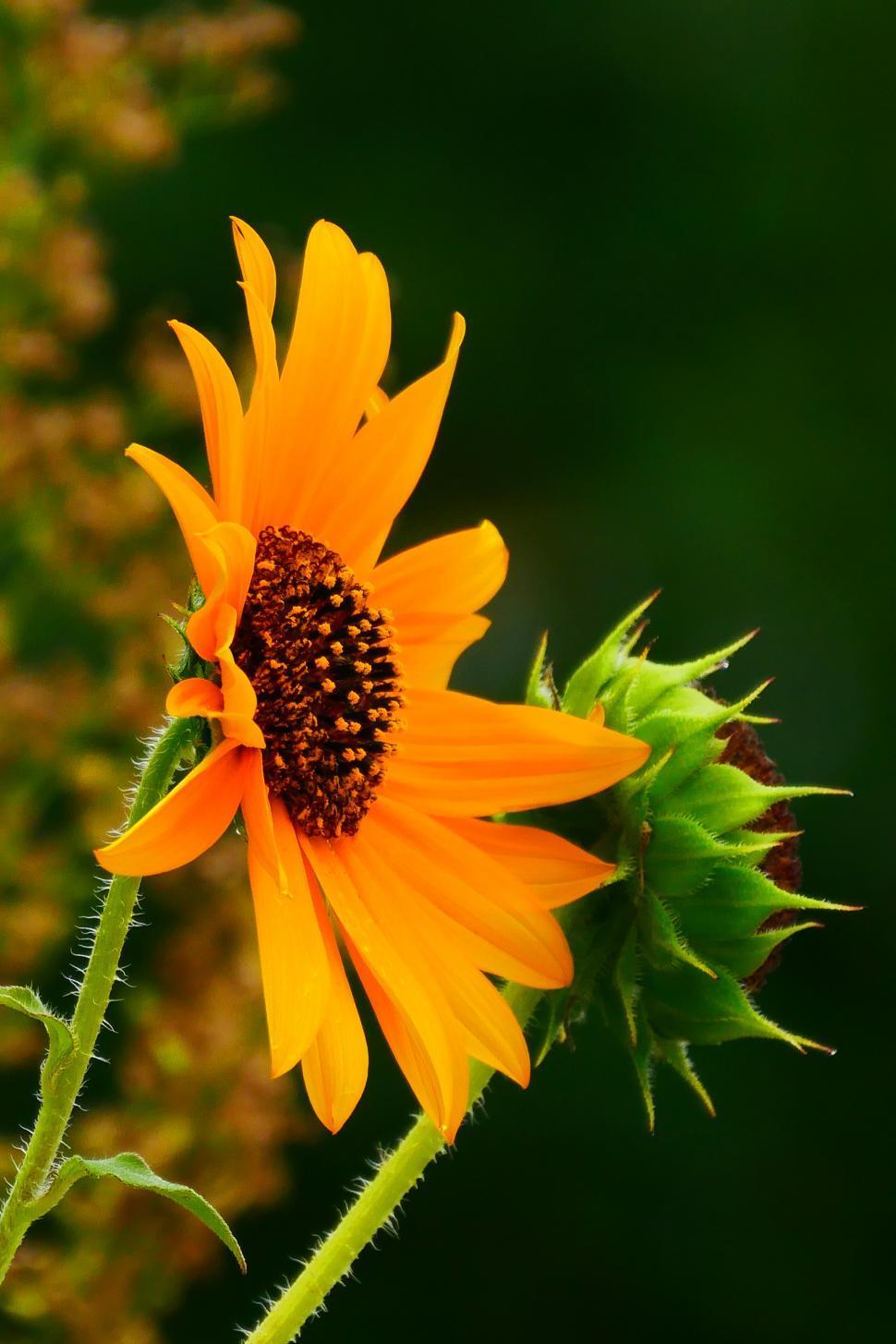 Download Free Stock Photo of Yellow Sunflower Flower Full Bloom