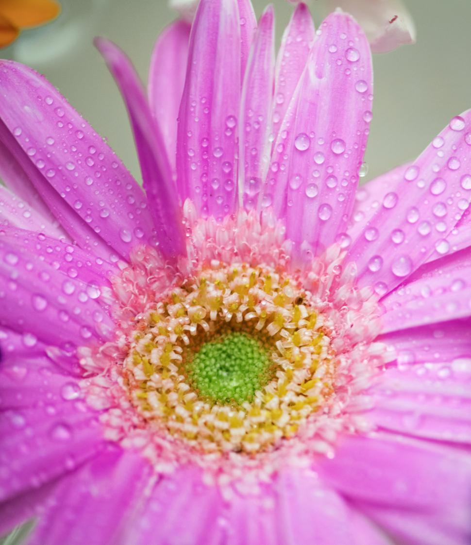 Download Free Stock HD Photo of Close up of a pink daisy flower Online