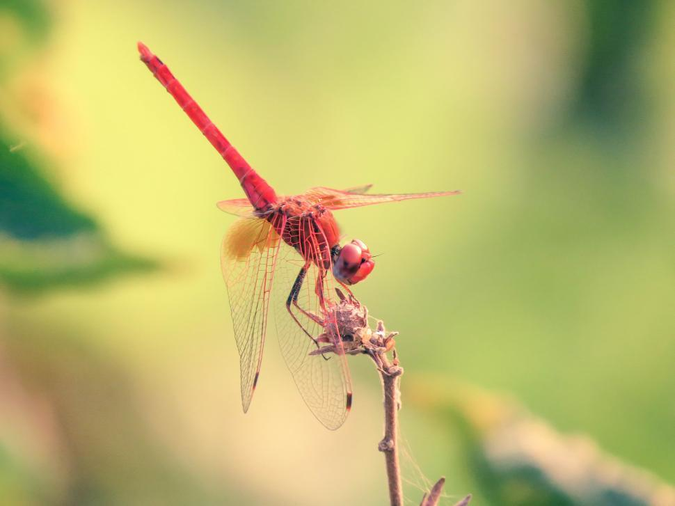 Download Free Stock Photo of Red Dragonfly, Insect on a Plant