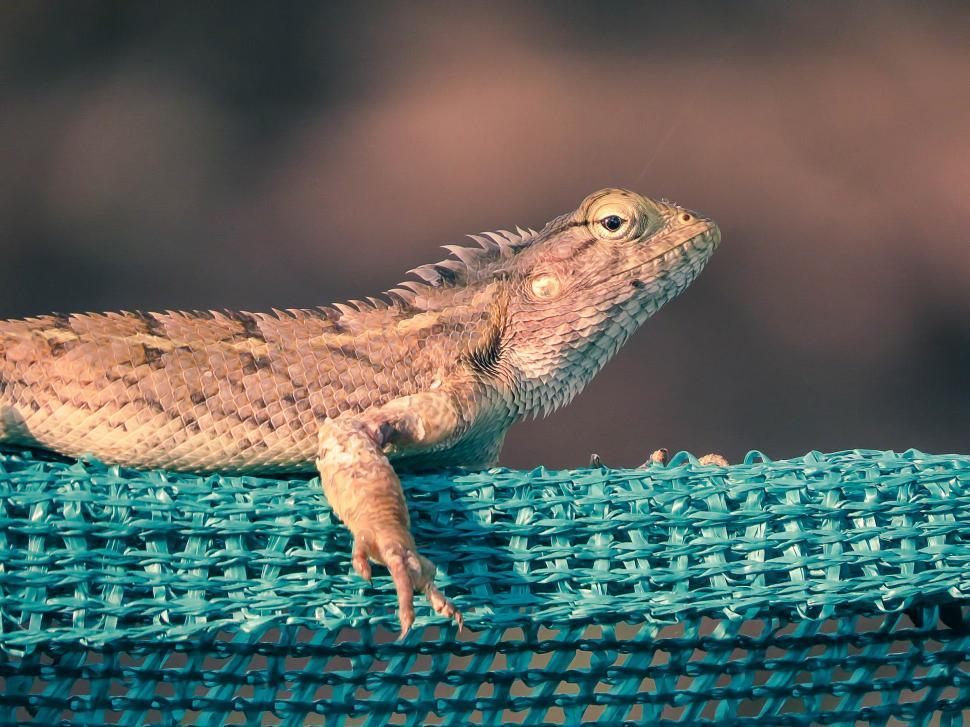 Download Free Stock Photo of Indian garden lizard, Chameleon