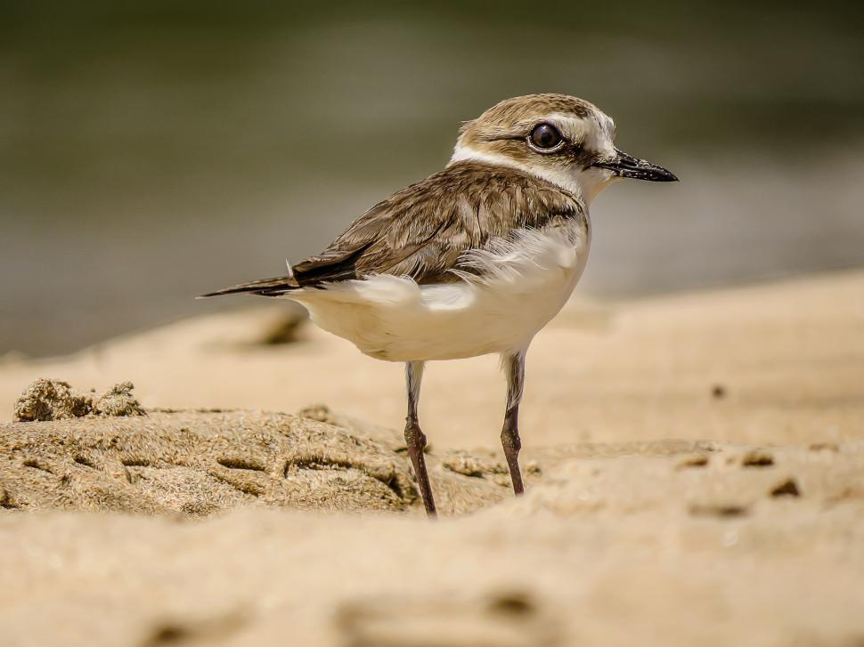 Download Free Stock Photo of Lesser Sandplover