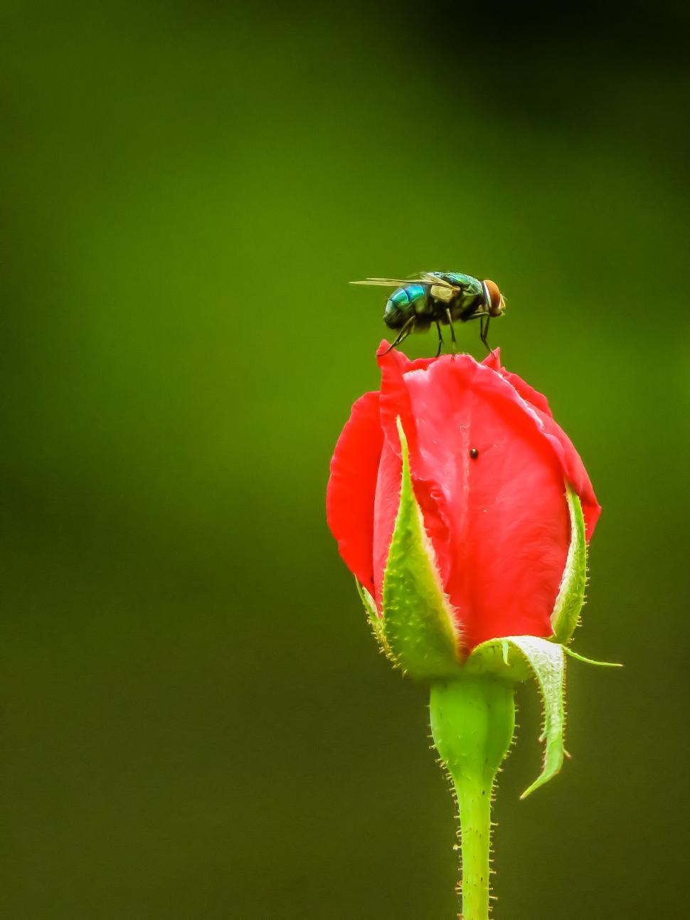 Download Free Stock Photo of Fly on the rose