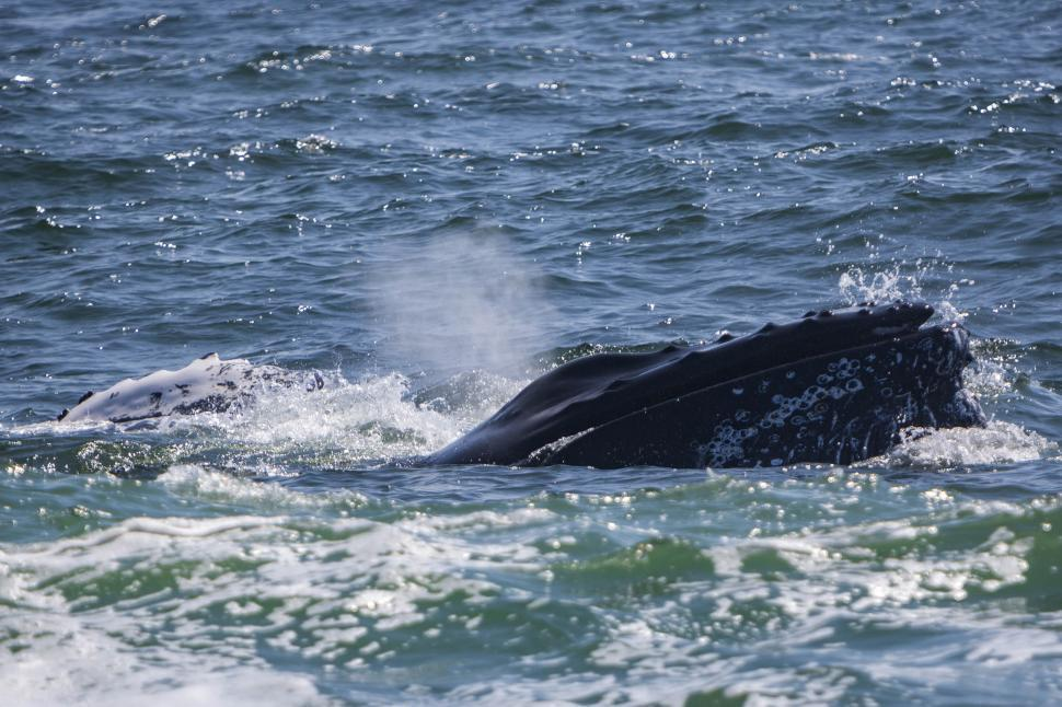 Download Free Stock HD Photo of Humpback Whale Online