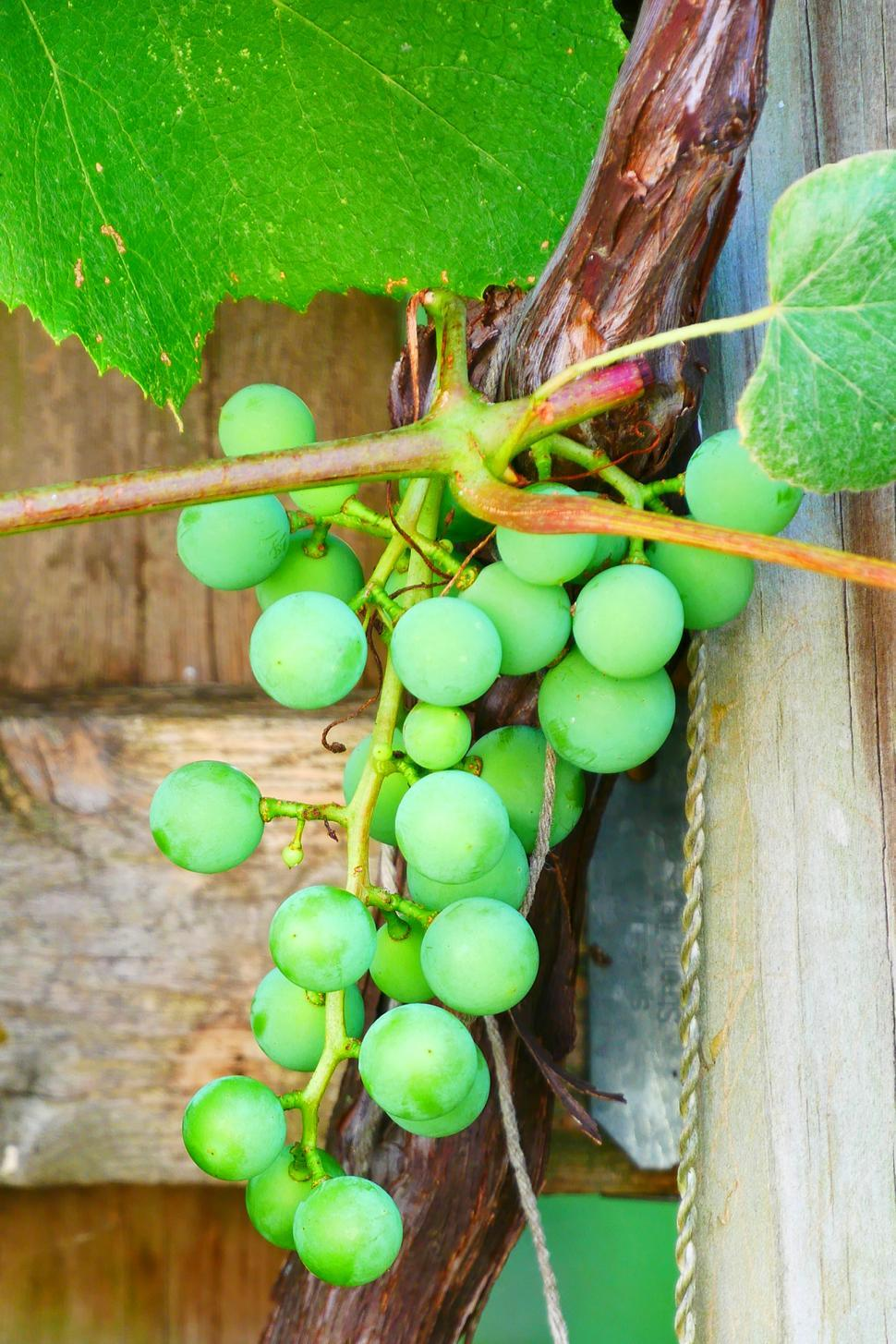 Download Free Stock HD Photo of Green Immature Concord Grapes Online