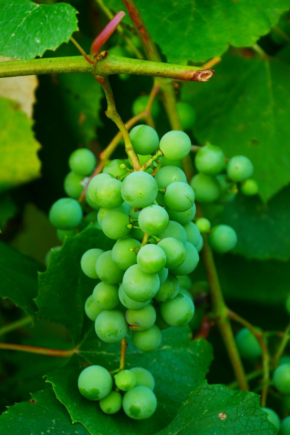 Download Free Stock Photo of Bunch Of Immature Grapes