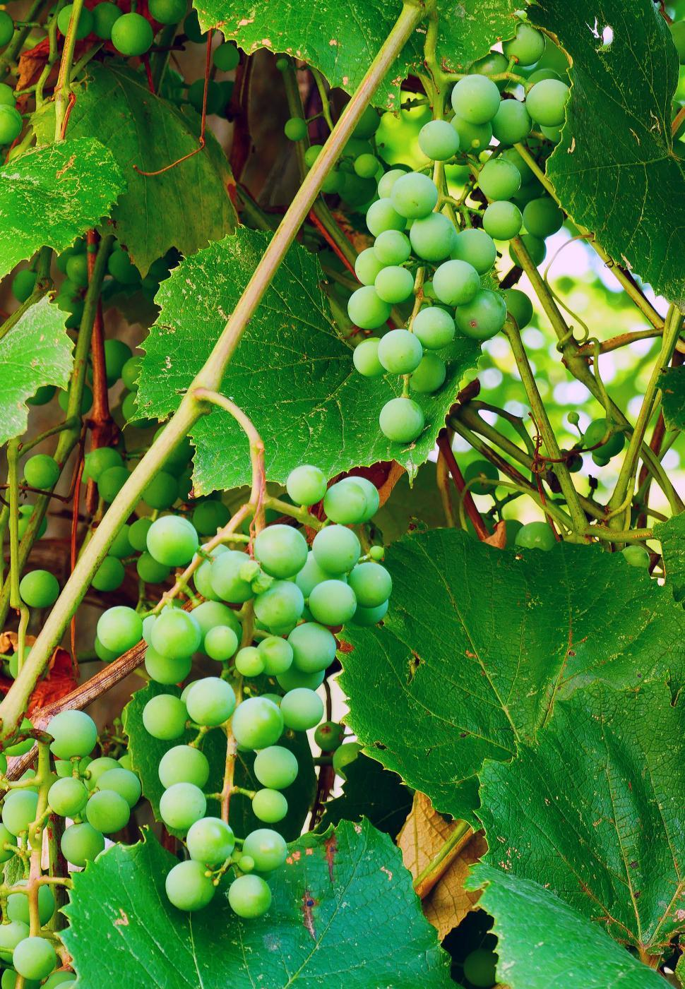 Download Free Stock Photo of Two Bunches of Green Young Concord Grapes