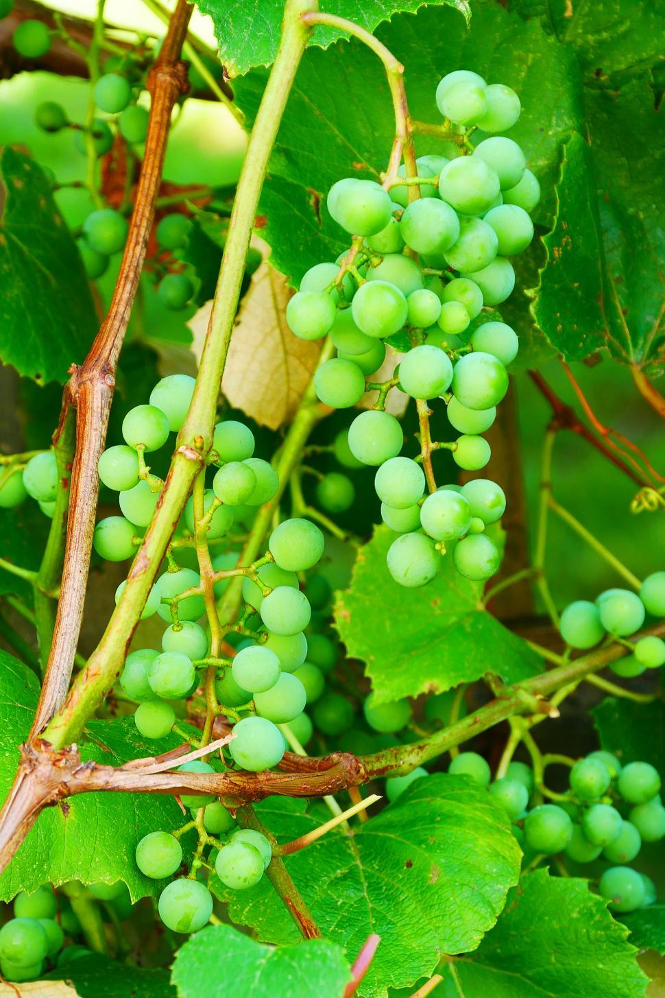 Download Free Stock HD Photo of Grape Vine with Bunch Of Green Grapes Online