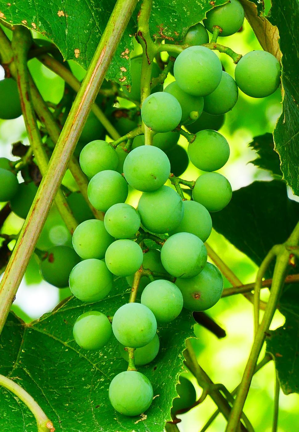 Download Free Stock Photo of Immature Concord Grapes on Vine