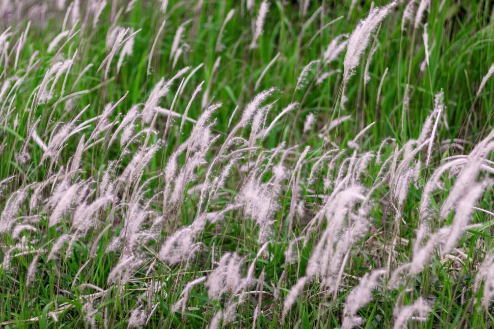 Download Free Stock HD Photo of White Cane Grass  Online