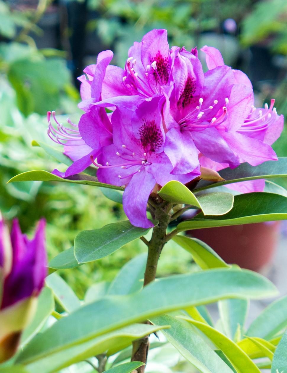 Download Free Stock HD Photo of Backyard Rhododendron Blooms Online