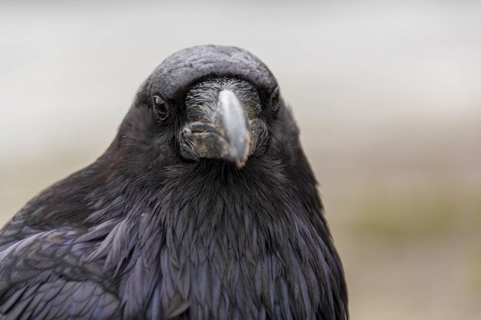 Download Free Stock Photo of Raven Corvus corax