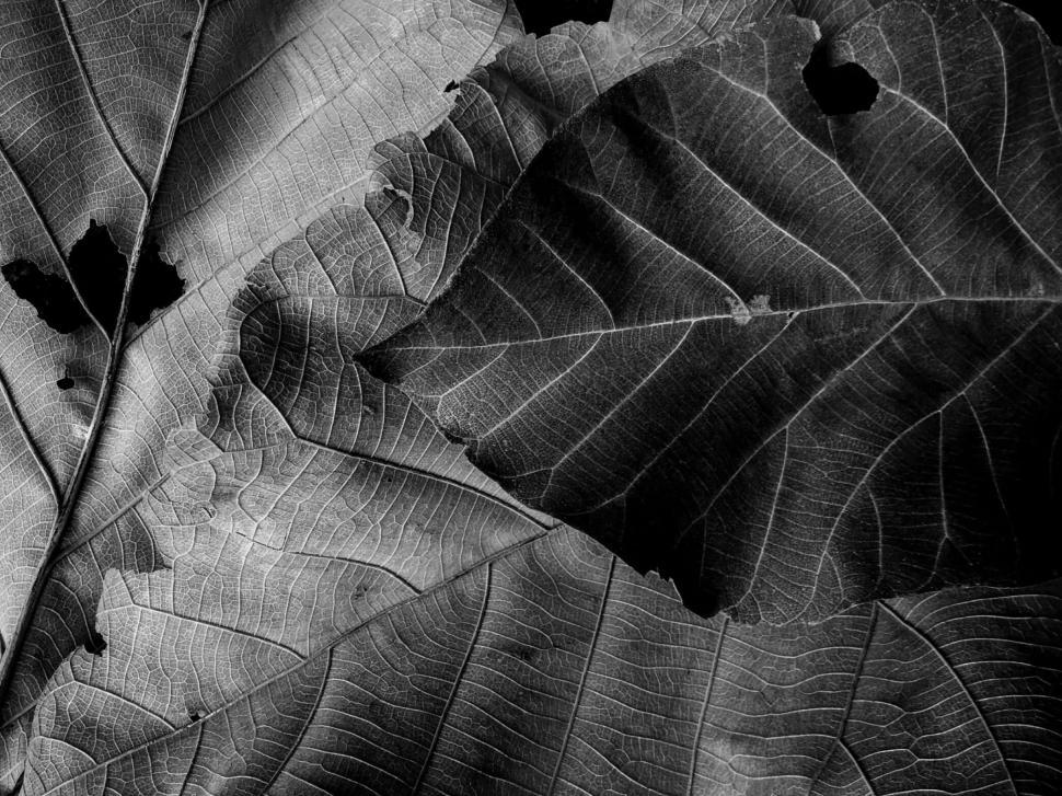 Download Free Stock HD Photo of Black and White Autumn Leaves Texture  Online