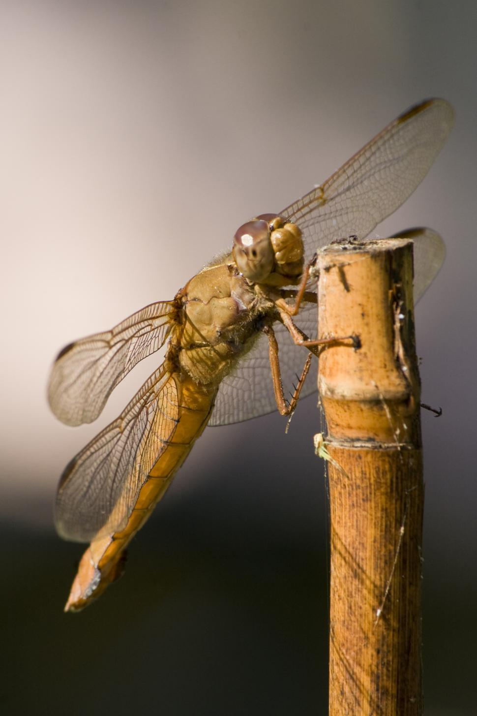 Download Free Stock Photo of Female Neon Skimmer Dragonfly