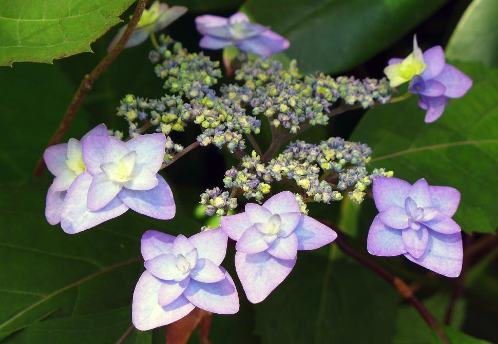Download Free Stock Photo of Hydrangea Flowers And Buds