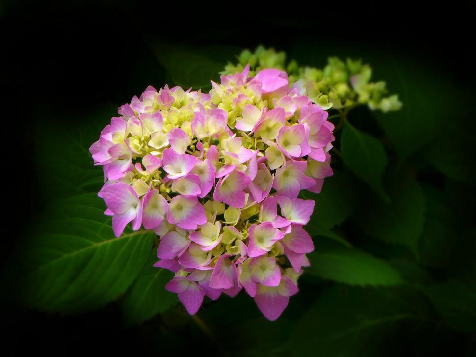 Download Free Stock Photo of Pink Hydrangea Flowers