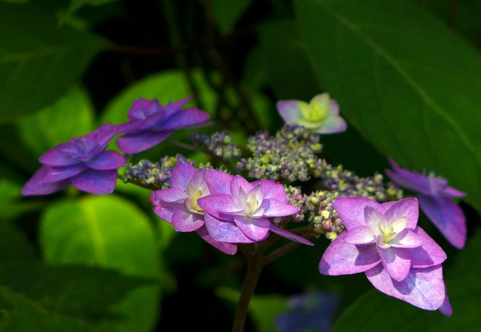 Download Free Stock HD Photo of Purple Hydrangea Flowers Online